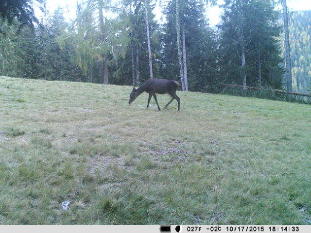 Wireless trail camera: Red deer hind